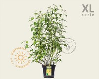 Cornus sericea 'Flaviramea' - XL