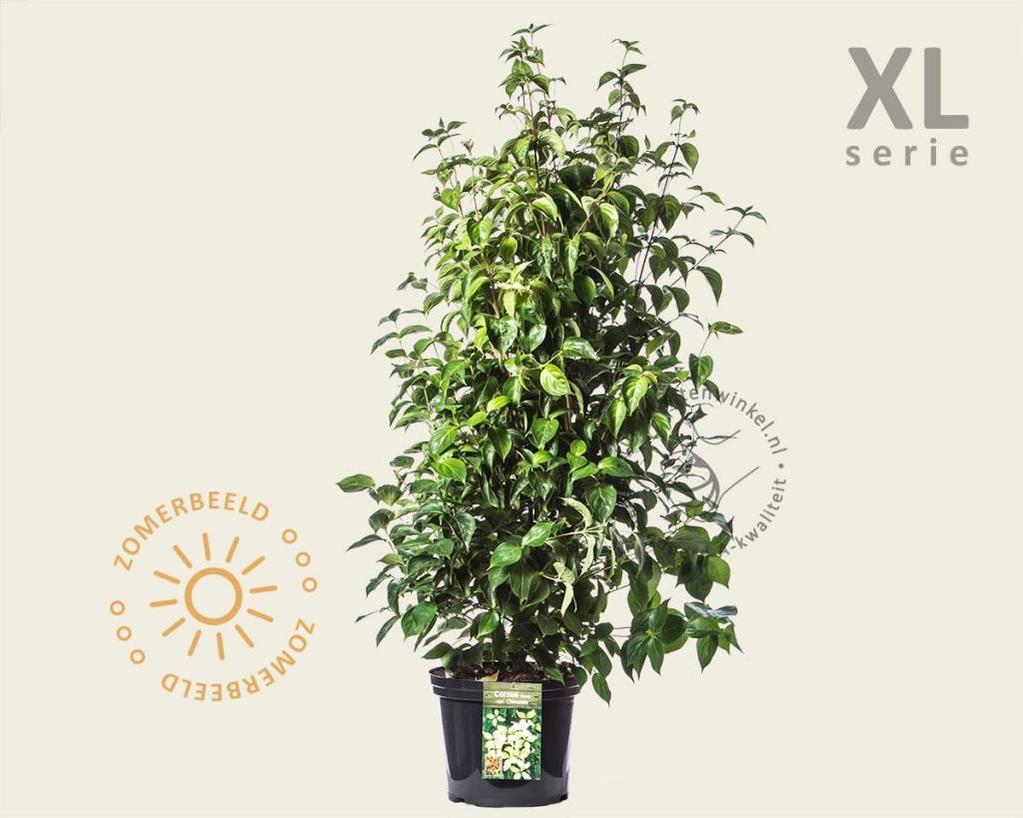 Cornus kousa chinensis - XL