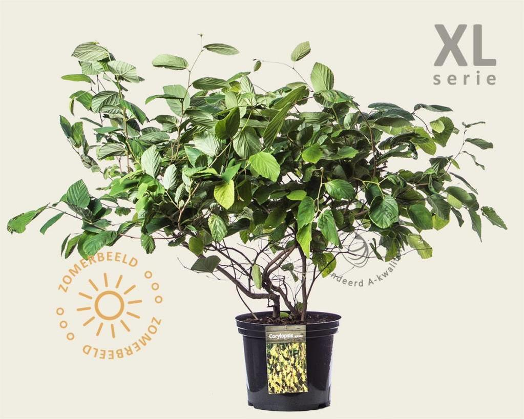 Corylopsis spicata - XL