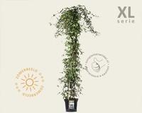 Clematis montana 'Rubens' - XL