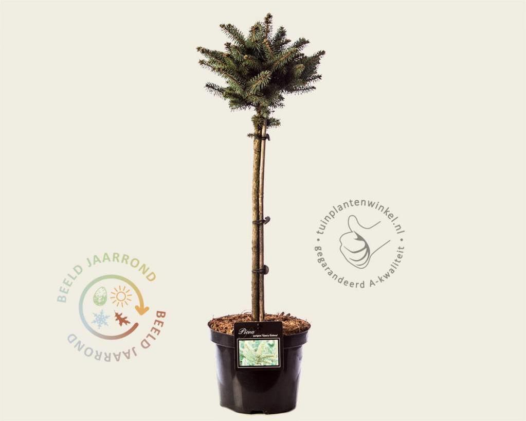 Picea pungens 'Glauca Globosa - stam 40 cm