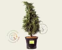 Juniperus squamata 'Blue Swede'