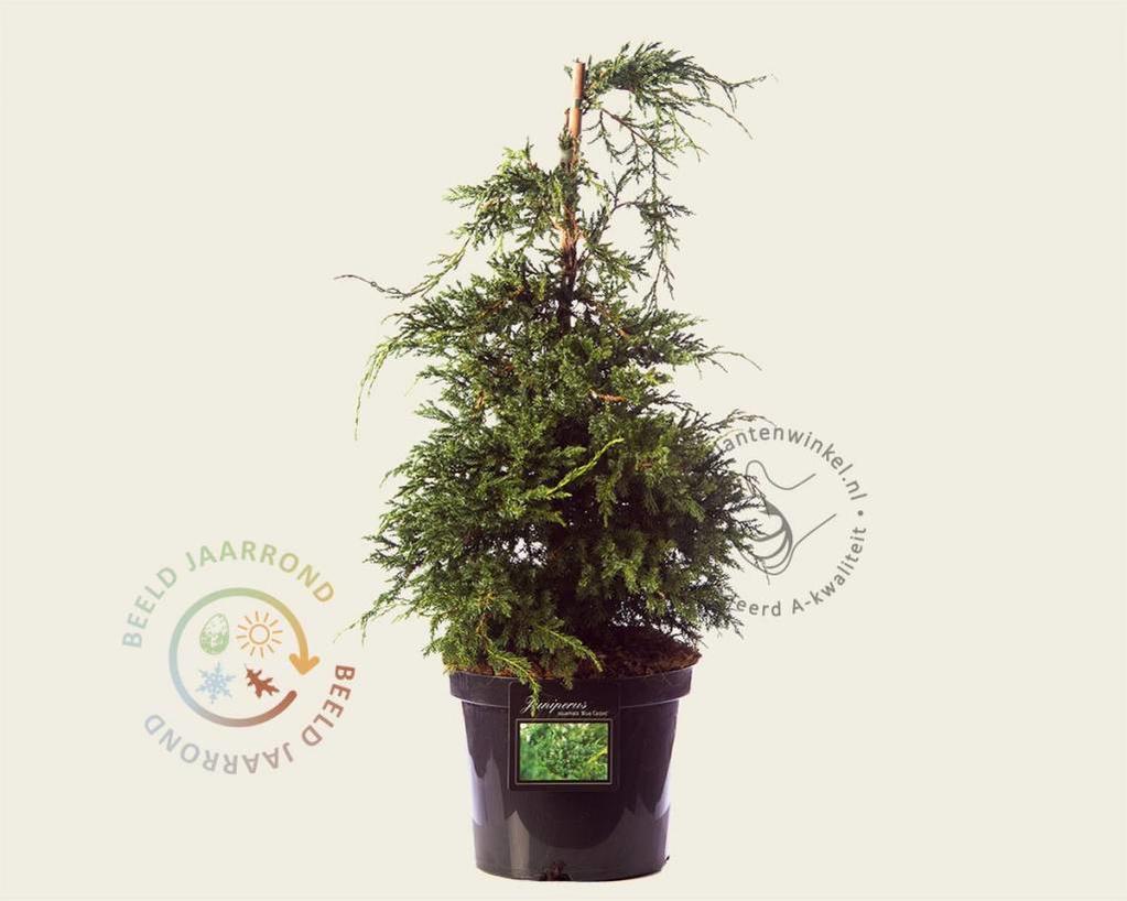 Juniperus squamata 'Blue Carpet' 060/080