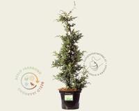 Juniperus chinensis 'Blue Alps' 060/080