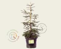 Picea orientalis 'Aureospicata' 050/60