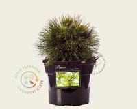 Pinus mugo 'Varella'