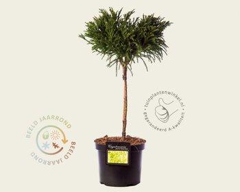 Cryptomeria japonica 'Globosa Nana' - 40 cm stam