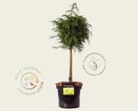 Cryptomeria japonica 'Elegans Viridis' - 40 cm stam