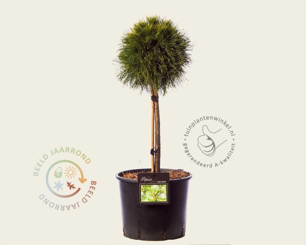 Pinus mugo 'Varella' - 40 cm stam - extra dik