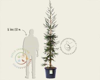 Sequoiadendron giganteum 'Glaucum' 225/250