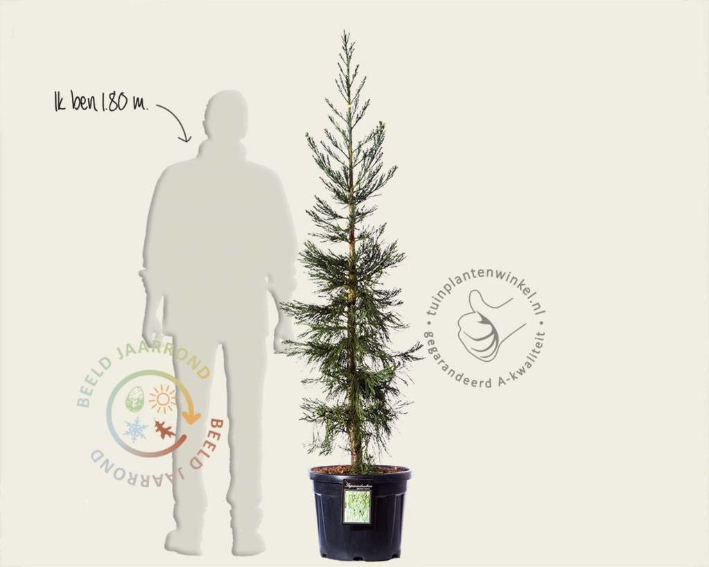 Sequoiadendron giganteum 'Glaucum' 150/175