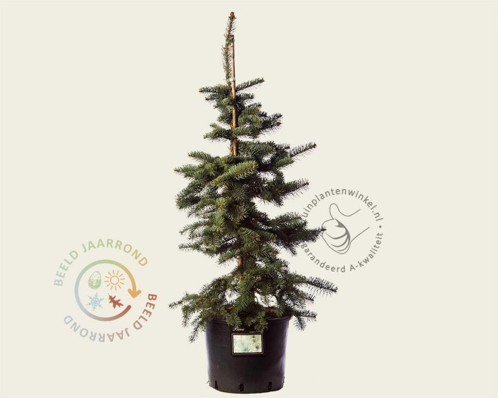 Picea pungens 'Koster' 080/100