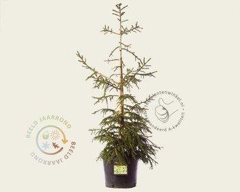 Picea orientalis 'Aureospicata' 080/100