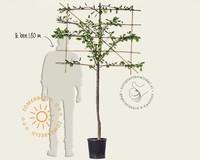 Prunus domestica 'Victoria' - halfstam lei-vorm