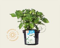 Hydrangea macrophylla 'Little White'