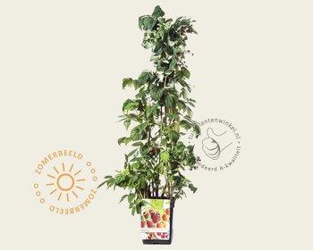 Rubus idaeus 'Quattro'