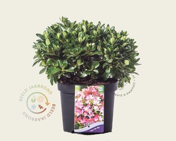 Rhododendron azalea 'Izumi-no-mai'