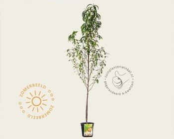 Prunus persica 'Peregrine' - laagstam