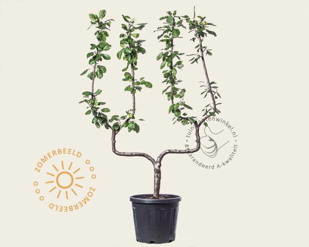 Prunus domestica 'Victoria' - dubbele U-vorm