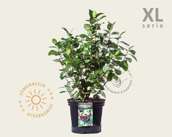 Aronia melanocarpa 'Viking' - XL