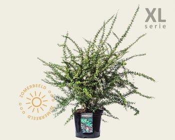 Berberis thunbergii - XL