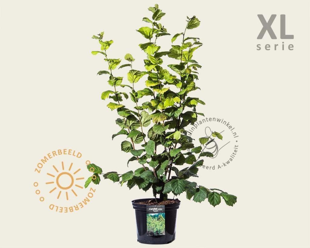 Corylus avellana 'Aurea' - XL
