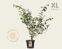 Hamamelis x intermedia 'Jelena' - XL