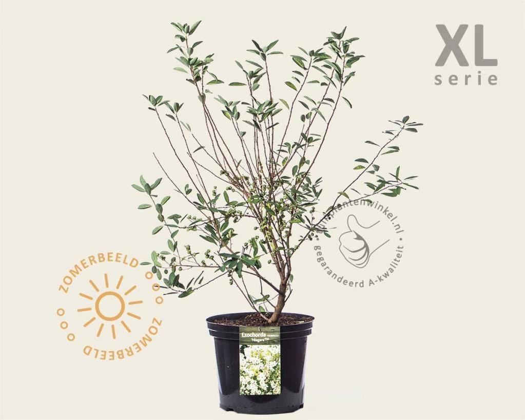 Exochorda racemosa 'Niagara' - XL