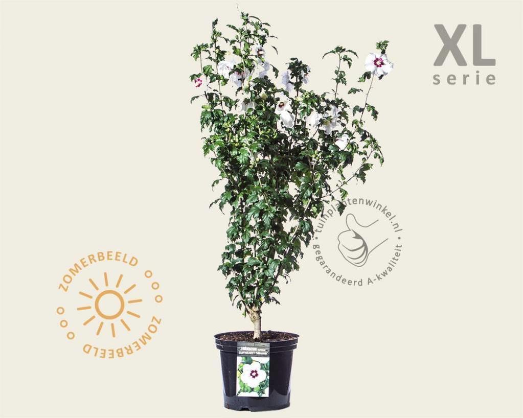 Hibiscus syriacus 'Sup Heart' - 'Minomb' - XL