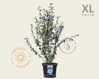 Hibiscus syriacus 'Ultramarine' - 'Minultra' - XL
