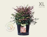 Nandina domestica 'Obsessed' - XL