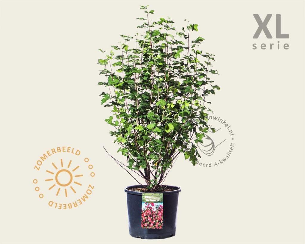 Ribes sanguineum 'King Edward VII' - XL