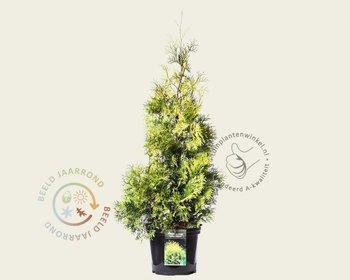 Thuja occidentalis 'Yellow Ribbon' 080/100 - in pot