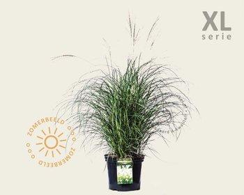 Miscanthus sinensis 'Adagio' - XL