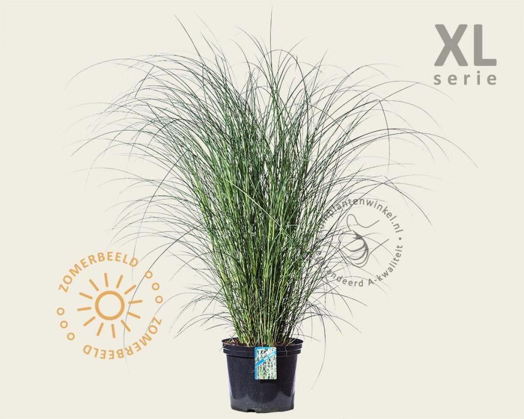 Miscanthus sinensis 'Gracillimus' - XL