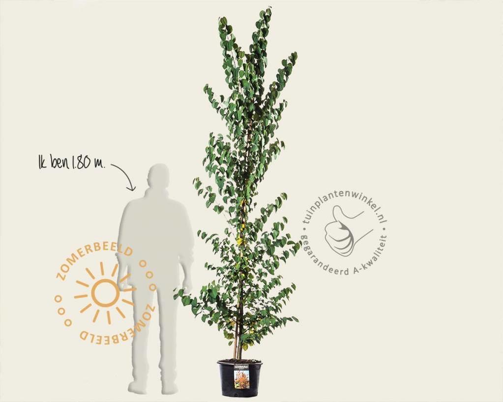 Cercidiphyllum japonicum - beveerd