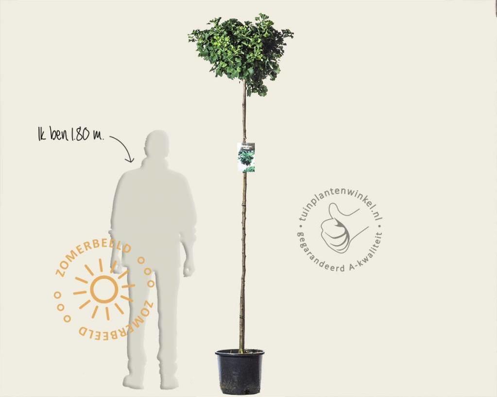 Ginkgo biloba 'Mariken' - 180 cm stam