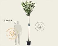 Prunus serrulata 'Kanzan' - 180 cm stam