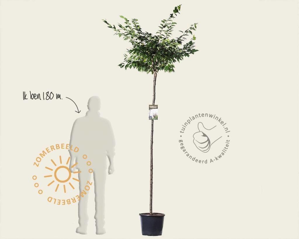 Prunus subhirtella 'Autumnalis Rose' - 180 cm stam