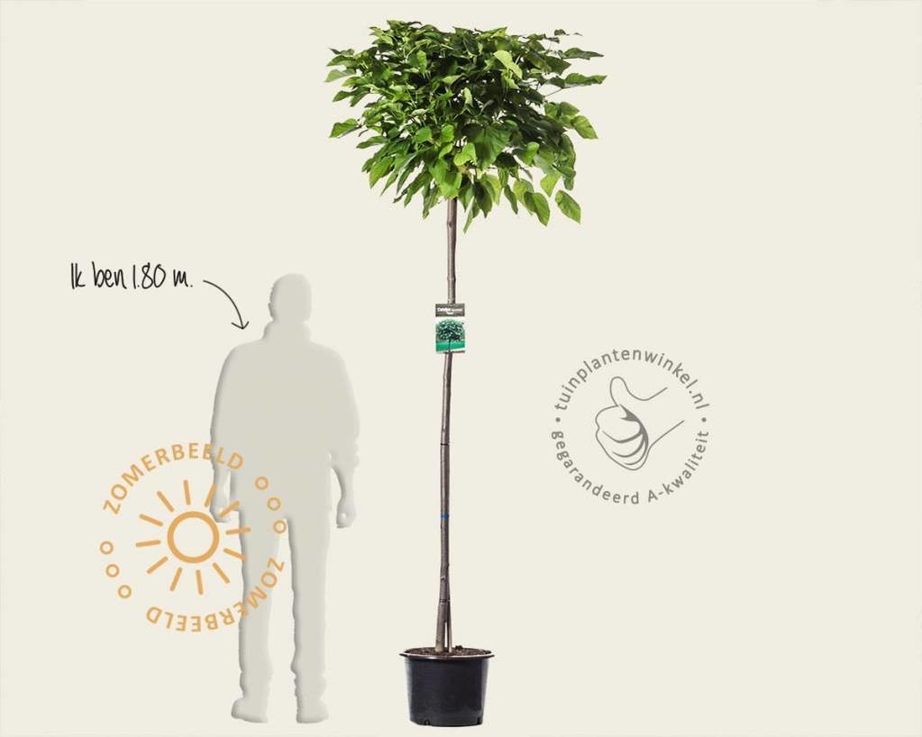 Catalpa bignonioides 'Nana' - 180 cm stam