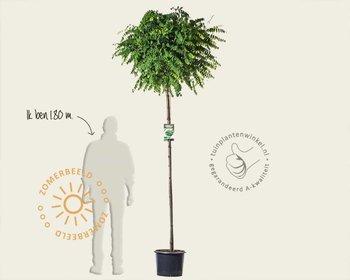 Robinia pseudoacasia 'Umbraculifera' - 180 cm stam