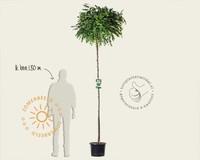 Robinia pseudoacasia 'Umbraculifera' - 200 cm stam
