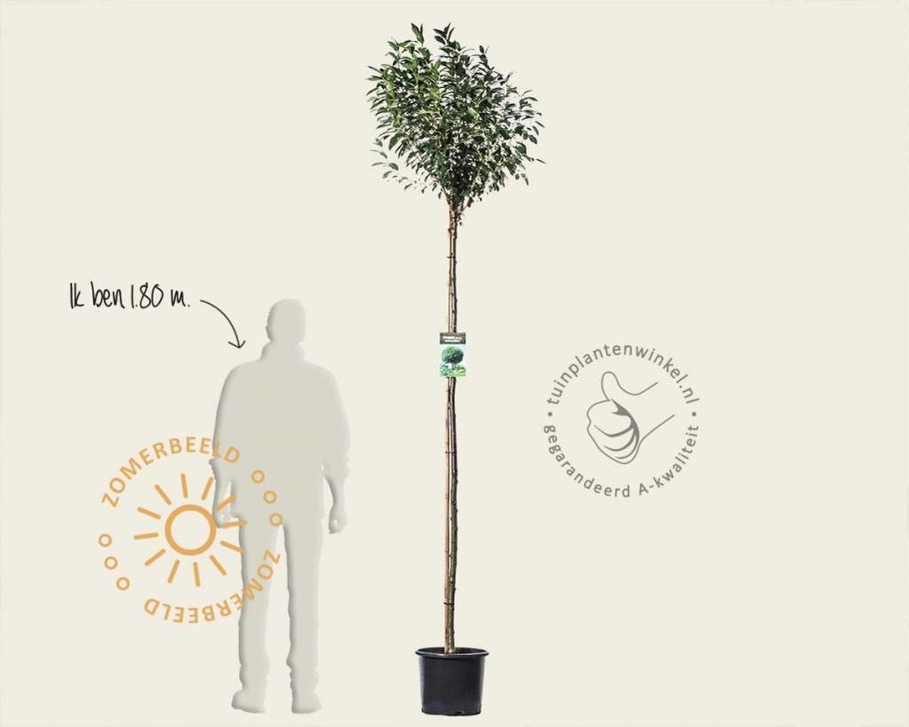 Prunus eminens 'Umbraculifera' - 180 cm stam