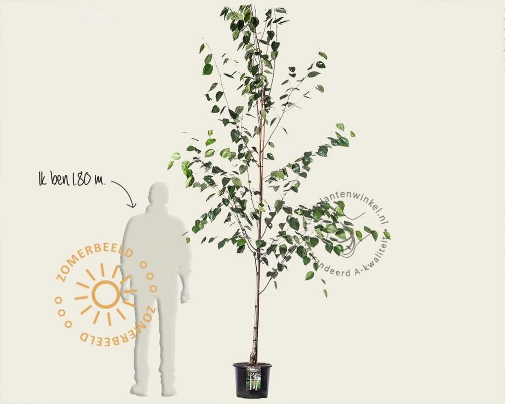 Betula utilis 'Doorenbos'