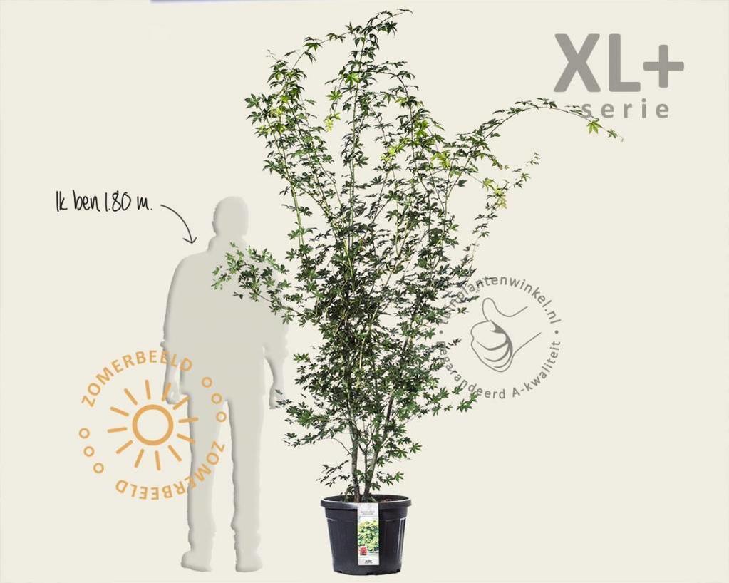 Acer palmatum - XL+