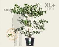 Cornus controversa - XL+