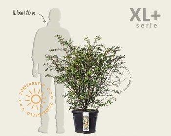 Euonymus alatus - XL+