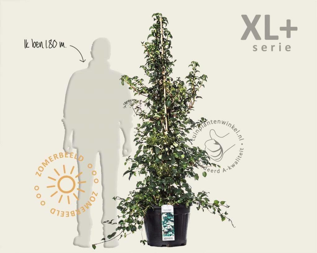 Hydrangea anomala petiolaris - XL+