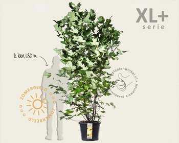 Liriodendron tulipifera - XL+