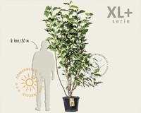 Magnolia soulangeana 'Lennei' - XL+